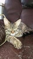 """Young Female Cat - Tabby: """"Gamine"""""""
