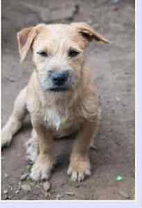 Wanted Border Terrier Pup under 6mths Singleton Rockingham Area Preview