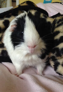 Male Guinea Pig for Rehoming