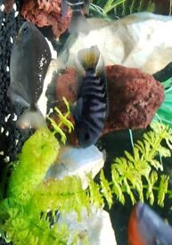 Convict Cichlid for sale female