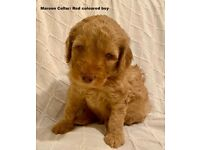 12 Stunning Teddy bear Double Goldendoodle Puppies Ready August Labradoodle