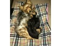 Pedigree Yorkshire Terrier puppy for sale