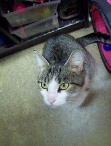 """Adult Female Cat - Domestic Short Hair: """"Boots-  Sweet & Spunky"""""""
