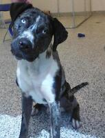 "Adult Male Dog - Catahoula Leopard Dog: ""Titus"""