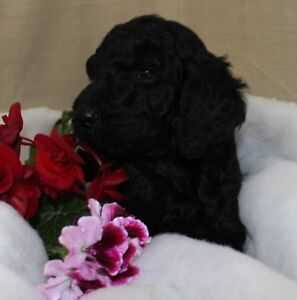 PURE-BRED STANDARD POODLE PUPPIES AVAILABLE