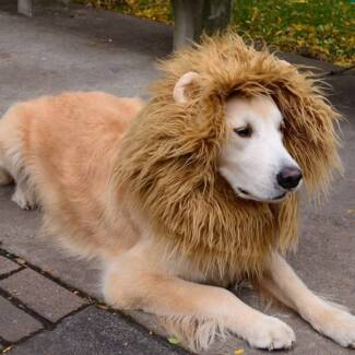 Large Lion Manes for Halloween Helensvale Gold Coast North Preview