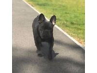 French bulldog for sale !!