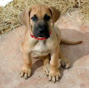 Wanted: Great Dane Puppy Wanted