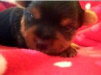 Yorkshire Miniature Terrier