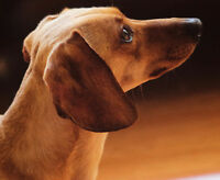 Looking for a good, trained, mature Dachshund?
