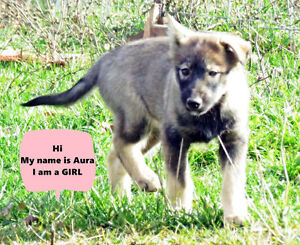 several husky pups available with their 2nd vaccination Peterborough Peterborough Area image 2