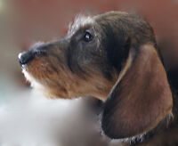 CKC Registered Wire Hired Dachshund Puppy Wild Boar Color.