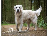 Golden doodle puppies kc reg health tested parents