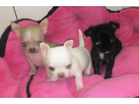 Ultra tiny gorgeous little chihuahuas