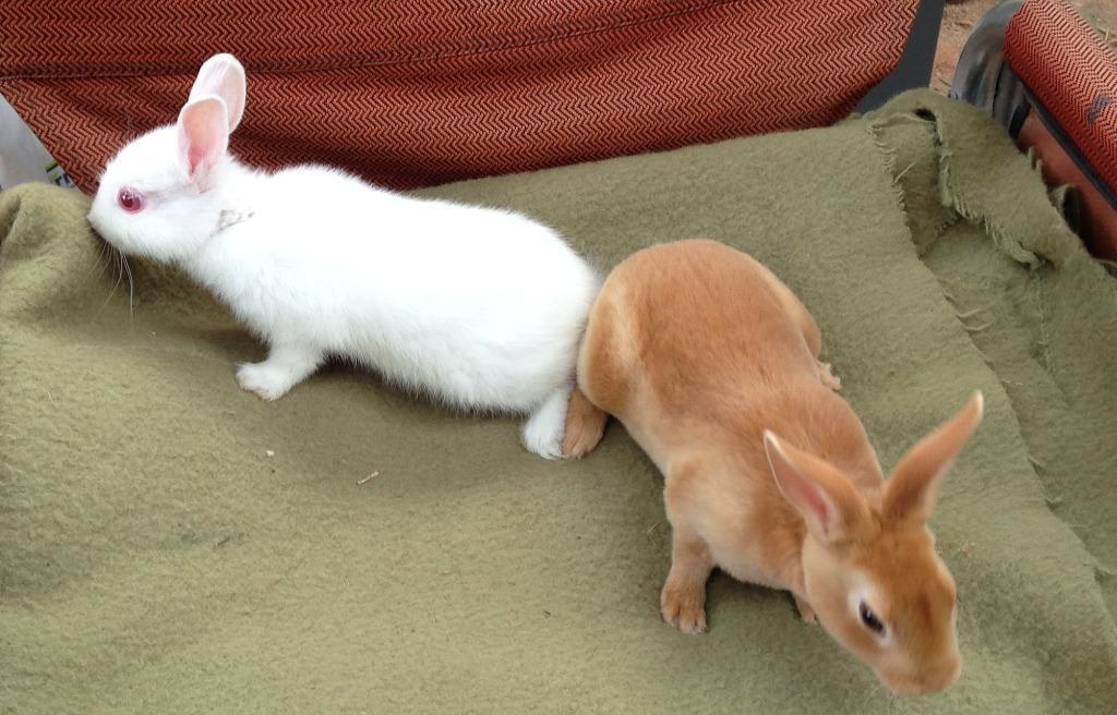 Lovely Baby Rabbits for sale in Rugby Warwickshire  : 86 from gumtree.com size 1024 x 656 jpeg 96kB