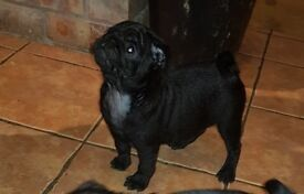 Pure black pug puppies