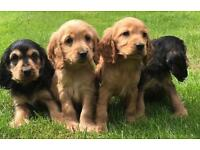 Cocker spaniel puppies show type