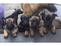 KNPV DUTCH HERDER PUPPY DOG MALINOIS GERMAN SHEPHERD