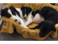 Collie x springer spaniel pups