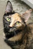 "Young Female Cat - Domestic Short Hair-Tortoiseshell: ""Milessa"""