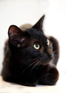 AK0666 : Inky - CAT for ADOPTION - Vet work included Wundowie Northam Area Preview