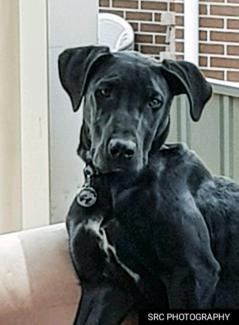 Great Dane, Bull Mastif Cross Pup.