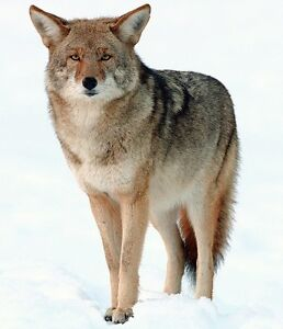 WANT TO BUY ANY MANUAL OR ELECTRONIC COYOTE CALLS