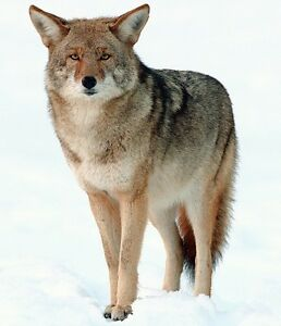 WANT TO BUY ELECTRONIC OR MANUAL COYOTE CALL.