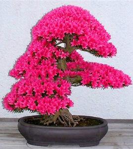 Bonsai sakura giapponese ciliegio semi ebay for Bonsai ciliegio