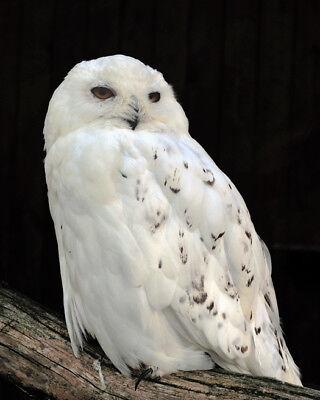 QUEBEC SNOW OWL Glossy 8x10 Photo Print America Poster Bird Nature Wildlife - Owl Photo