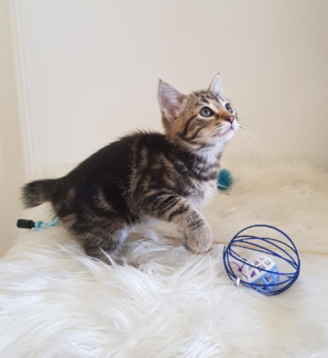 Harvey - KITTEN KAPERS RESCUE