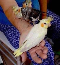 Hand Reared Baby Cockatiels Merrylands Parramatta Area Preview