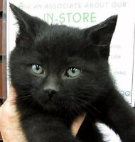 Adopt a Black Cat or Kitten