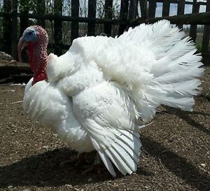 Beltsville white turkeys