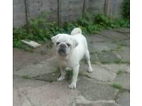 Kc reg white pug boy