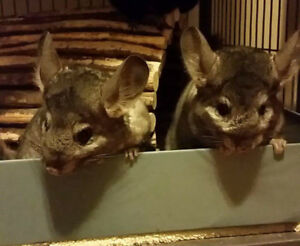 Bonded Chinchilla Sisters (With Cage and Accessories)