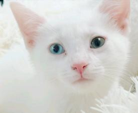 Turkish angora x kittens rare multi eye