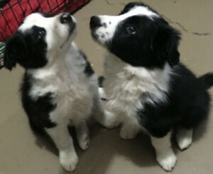 Border Collie X Husky Puppies - shots & deworming completed