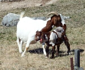 Purebred and high percentage boer goat kids
