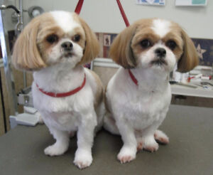 Wanted Shih-Tzu Puppy for Xmas