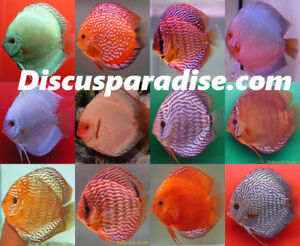 Discus Stendker From Germany, Saskatoon