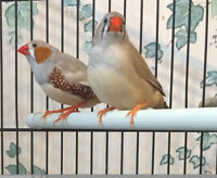 Pair of Zebra Finches (free)