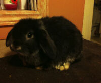 Lop/Netherland Bunnies for Sale