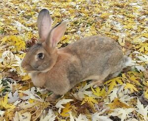 Rabbits for sale, Flemish Giants and white New Zealand