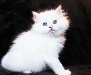 Fluffy White PERSIAN kittens are available for adoption
