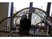 African Grey for sale with cage