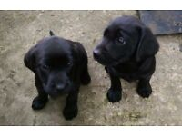 Pedigree Labrador Puppies for sale - ready NOW! Only 1 boy and 1 girl left!...