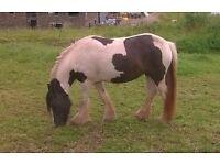 Gypsy Cob Pony Filly