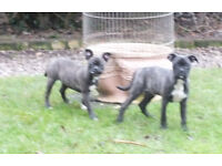Bugg pups boston terrier x PugX outgoing and adventerous ready for their new homes now