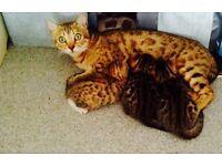 Bengal cross kittens 2 x boys 1 x girls
